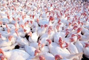 1299927411_turkeys3