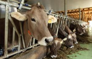 2_cows_400-06082917c