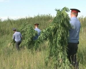 Полицейские_выявили_поле_дикорастущей_конопли