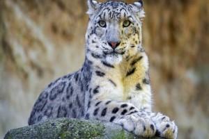 snowleopard78