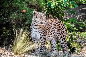 leopard-1851398_960_720